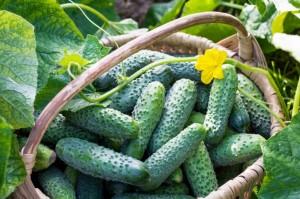 Польза огурцов— диетическая ценность и детоксикация организма