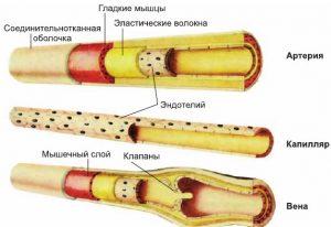сердечно сосудистая система, артерии и вены, картинка