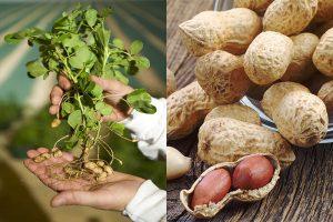 полезные свойства арахиса, картинка